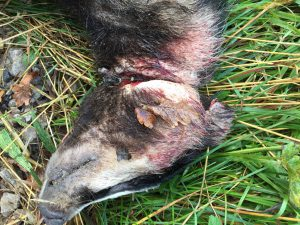 Badger found snared by side of road at Newark