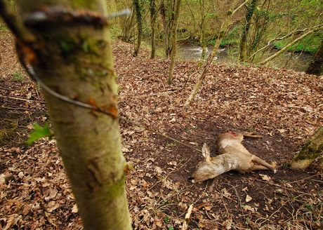 Deer killed in a snare in Scotland