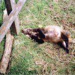 Badger killed by drap pole snare in, Norton, North Yorkshire