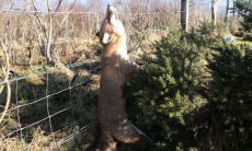 Fox strangled in snare