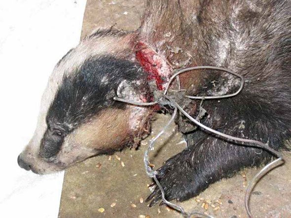 Holmfirth badger snares