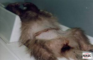 Rare Albino badger required dozens of stitches after being caught in a snare at The Mardens, West Sussex in 1995. Treated at Alphapet Veterinary Clinic, Bognor Regis