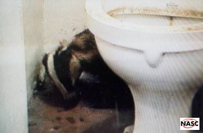 This badger took refuge in an outside toilet of a Rotherfield Garage at Easebourne, Midhurst, West Sussex on 7th August 1998. It had escaped from a snare that had injured its neck. The resulting foul smelling wound had weakened it and it had probably been forced out of the sett by a dominant boar.