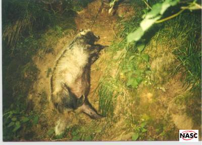 Snared Badger. The snare was attached to anchorage point. Cirigidion