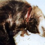 Badger with injury caused by self-locking snare. Cowthorpe