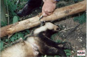 This badger dragged the drag pole and snare hundreds of yards before being strangled on the Goodwood Estate, West Sussex on 13 May 1996. A post mortem showed a snaring injury from a year before which had fractured the sternebrae. Post mortem by Richard Edwards, MSc MA VetMB MRCVS. He stated: I believe that this animal underwent a considerable degree of suffering.