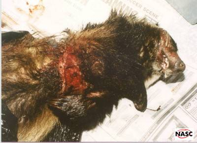 A badger snared in Shropshire
