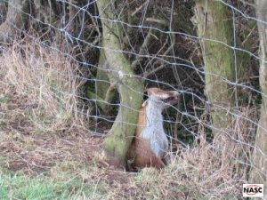 Fox snared on a wired fence against the code of practice