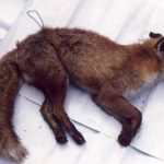 Fox killed by snare across its stomach. Photo: LACS