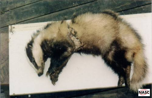 Snared Badger on Atherfield Farm, Isle of Wight. Summer 1994