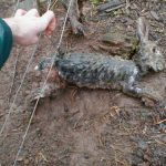 Snared rabbit in Wales. March 2004