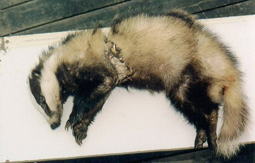 Isle of Wight badger killed by a home-made snare