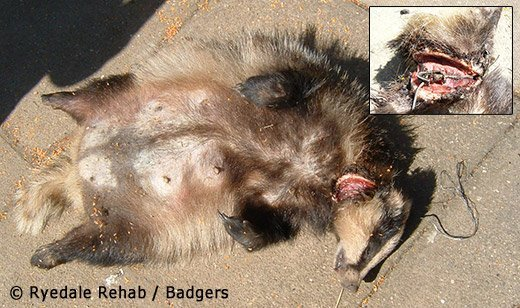 Badger killed by a snare in North Yorkshire