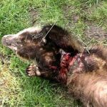 Badger killed by drag pole in Buckinghamshire