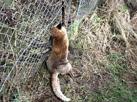snared fox hung in Dumfries