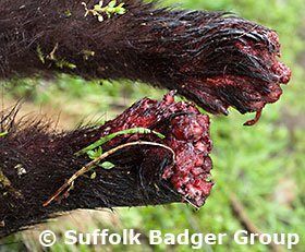 Desperate badger gnaw off its own feet