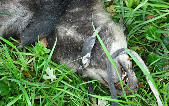 The badger which was found dumped