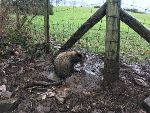 Badger snare Lampeter