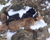 Cat and fox died in snares at Bolton Abbey Estate Grouse moors in North Yorkshire