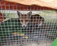 Second fox cruelly snared in urban Sussex