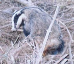 Badger found in a snare