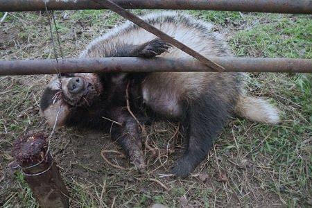 Snares set to kill badger