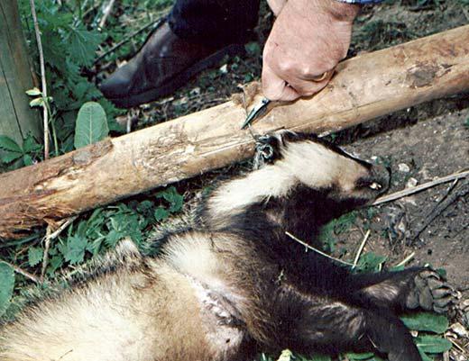 Badger snared on the Goodwood Estate