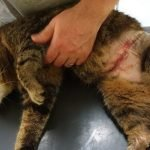 Cat suffers serious injuries in snare trap in Malvern