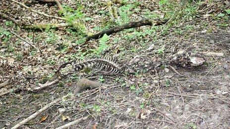 Deer skeleton - killed by illegal snare