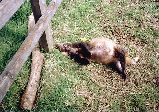 badger killed by drap pole snare in North Yorkshire