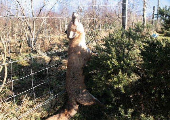 fox-strangled-in-snare