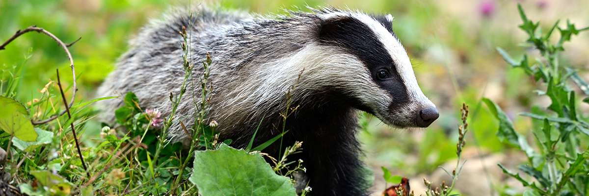 Snares cause badgers serious injuries