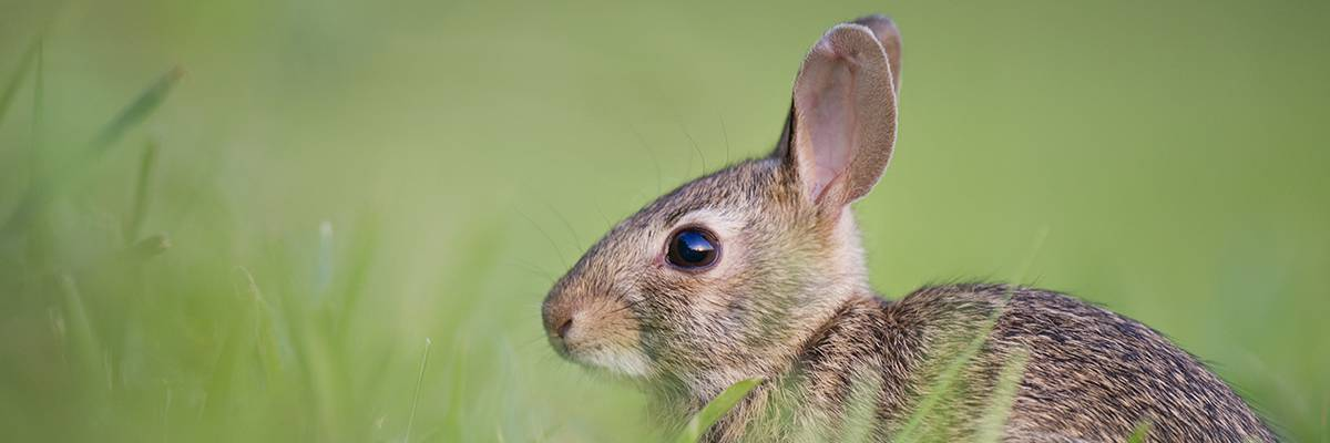 Rabbit snares