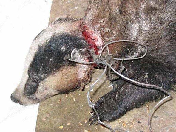 Holmfirth badger snares