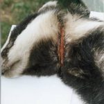 Badger found by the side of the road in June 2001, Egton Whitby. It had been seriously injured by a snare. Source: Rydale Badger Group