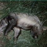 Badger discovered knocked down with a snare cut off, but still around its middle near Kingly Vale, Chichester, West Sussex. 11th Sept 1996