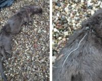 Otters found dead in illegal traps