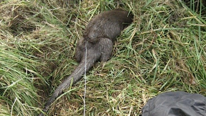 Otter trapped in snare