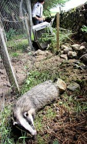 Rescued badger from snare