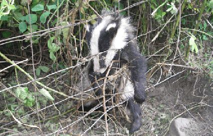 Image result for badgers  caught inwildlife snares