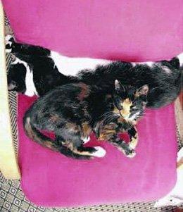 Snared cat Ginger