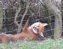 Fox snared on wire fence