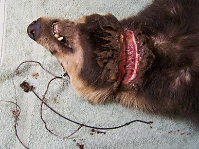 And this snared badger died in a legal snare in January 2012