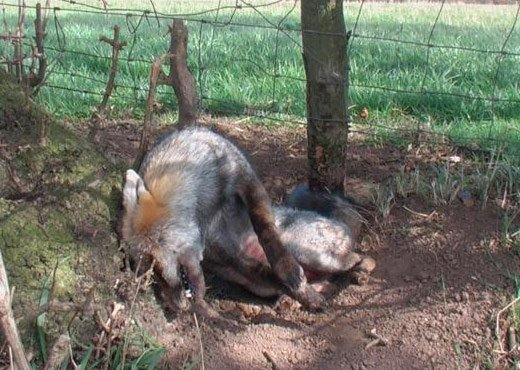 Snare kills rare silver fox