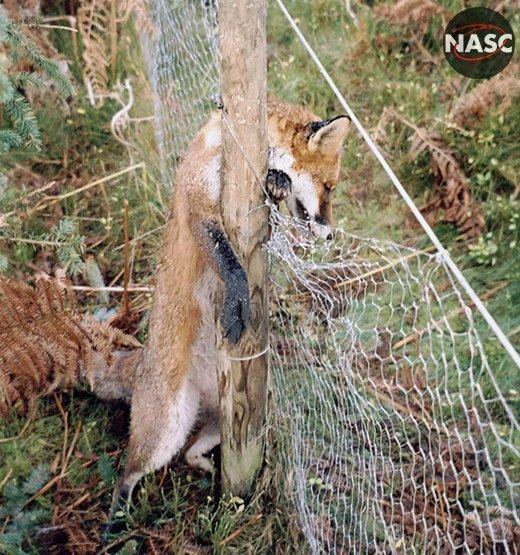Stanhope Estate cruel snaring foxes
