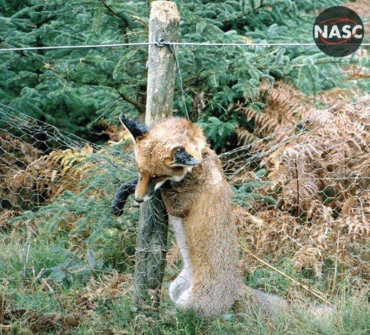 Stanhope Estate snares kill fox